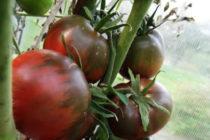 Помидор Черный принц - описание сорта с фото, характеристика, урожайность Отзывы кто сажал