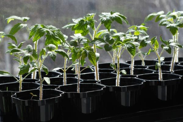 Какие условия нужны рассаде для хорошего роста
