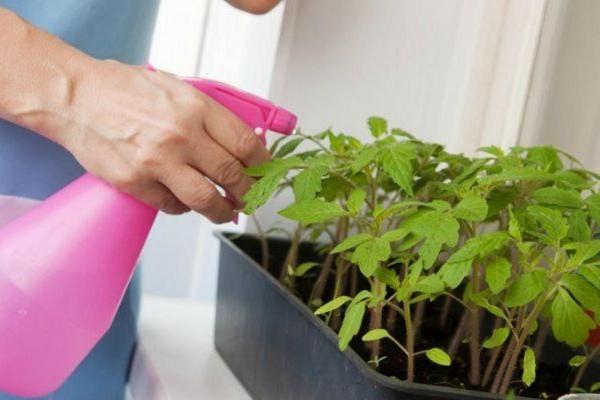 Прекратился рост рассады помидор