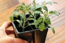 Почему томатов плохо растет и развивается, что делать, чем подкормить
