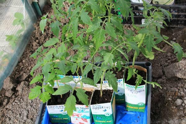 Выращивание томатов сорта Сто пудов