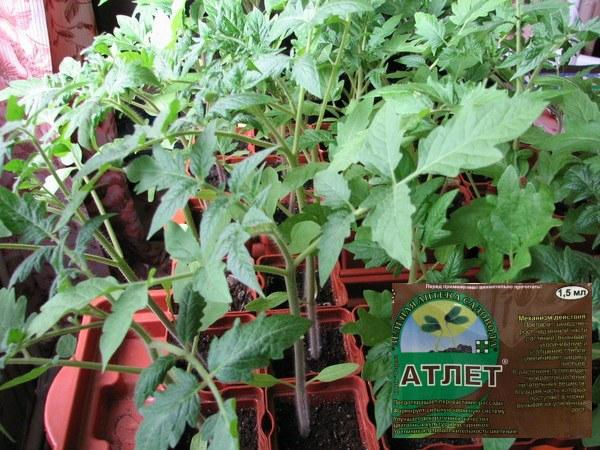 Применение препарата «Атлет» для сдерживания роста рассады томатов