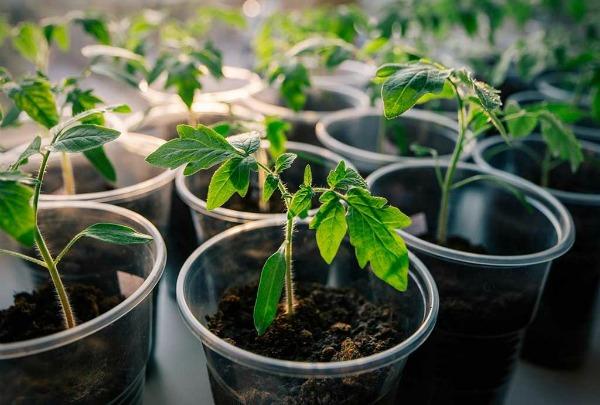 Особенности выращивания рассады помидор в домашних условиях