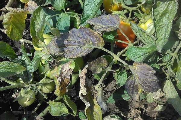 Причины развития фитофтороза у помидоров
