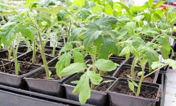Особенности выращивания томатов Японский краб