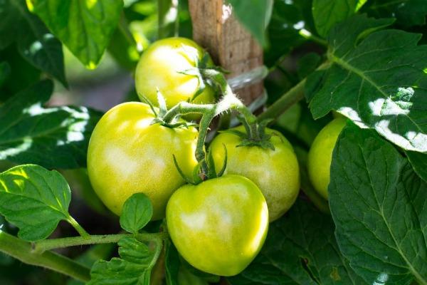 Плюсы и минусы томата Большая мамочка