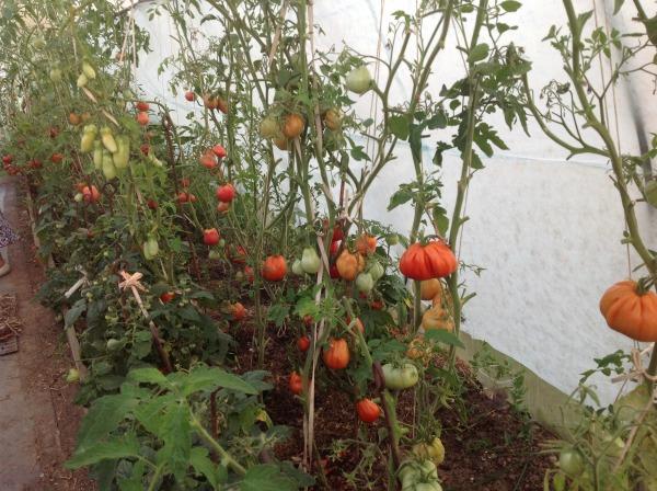 Отзывы садоводов, кто сажал сорт