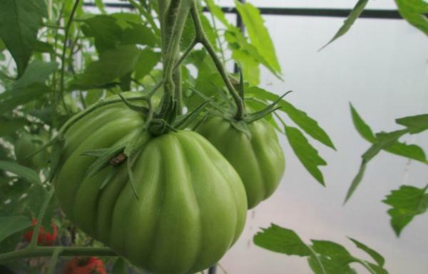 Сорт помидоров Пузата хата