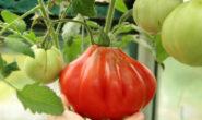 Помидор Пузата хата описание сорта с фото, характеристика, урожайность Отзывы кто сажал