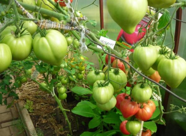 Выращивание томатов Сахарный бизон