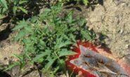 Как защитить томаты от медведки Методы борьбы Видео