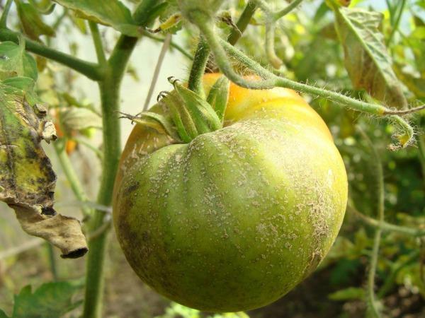 Причины развития заболевания у помидоров