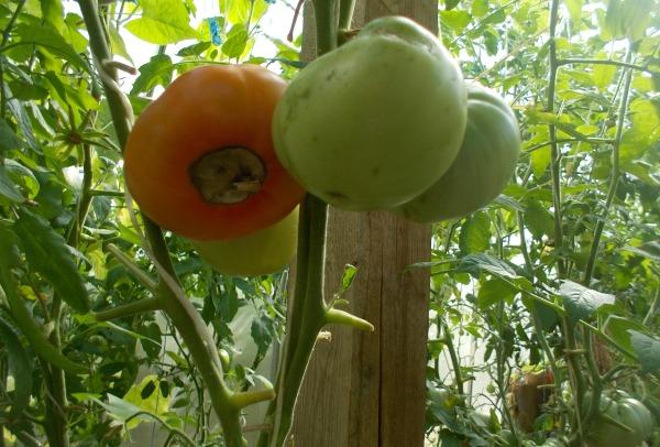 Чем обрабатывать помидоры
