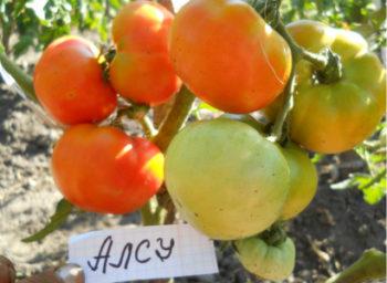 Помидор Алсу - описание сорта с фото, характеристика, урожайность Отзывы кто сажал