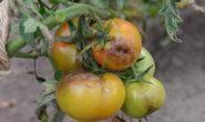 Фитофтора на помидорах в открытом грунте Как бороться Видео