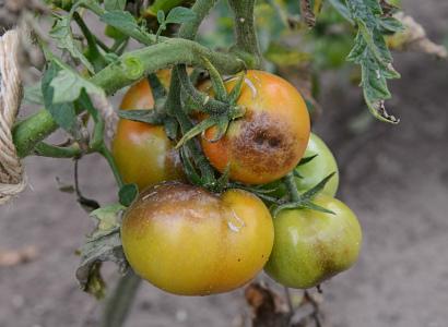 От фитофторы на томатах