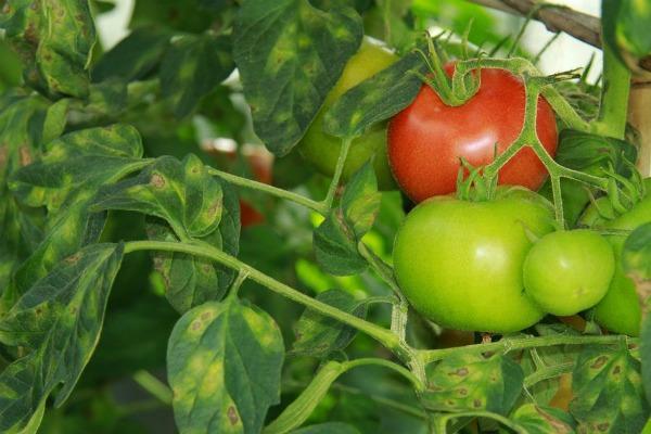 Первые признаки кладоспориоза на помидорах