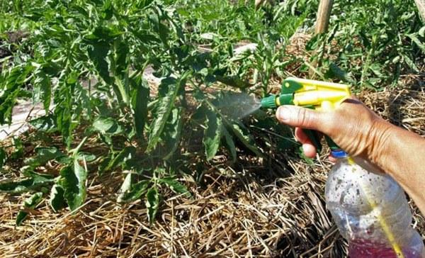 Чем обрабатывать помидоры от кладоспориоза