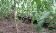 Нужно ли убирать листья на кустах томатов в теплице и в открытом грунте Как и когда обрезать