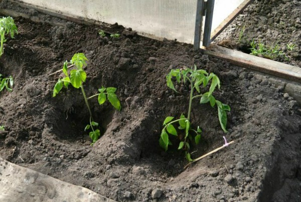 На каком расстоянии нужно высаживать кусты помидоров в теплицу