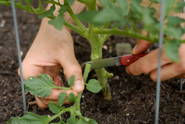 Необходимость удаления листьев у томатов