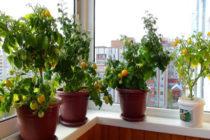 Помидоры на балконе выращивание пошагово из семян Фото