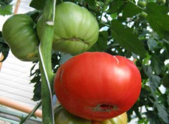 Помидор Куум - описание сорта с фото, характеристика Урожайность Отзывы, кто сажал Видео