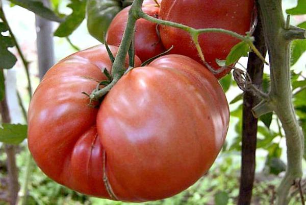 Плюсы и минусы томата Хлебосольный