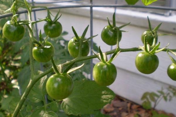 Что делать, чем помочь помидорам