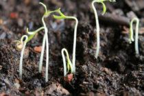 Почему томаты всходят с семенами на листочках Что делать