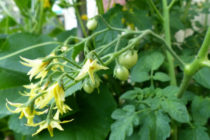 Почему помидоры сбрасывают цветы и завязь Что делать Фото Видео