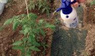 Как подкормить помидоры борной кислотой в какой пропорции, в теплице и в окрытом грунте