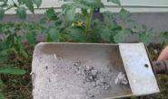 Как подкормить томаты золой, способ применения В теплице В открытом грунте