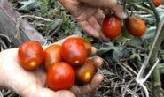 Помидор Шоколадный зайчик - описание сорта с фото характеристика, урожайность Отзывы, кто сажал Видео