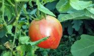 Помидор Розовый спам F1 - описание сорта с фото, характеристика, урожайность Отзывы кто сажал